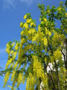 Golden Chain (Laburnum)