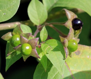 Deadly night shade fruits - immature and mature