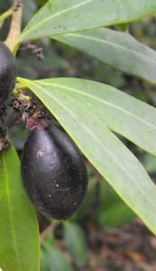Acokanthera_oblongifolia fruits