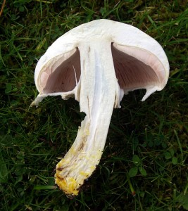 Yellow stainer fungus