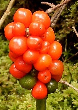 Fruit of Arum maculata