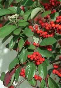 Cotoneaster-glaucophyllus-fruit