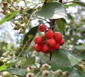 Cotoneaster_berries
