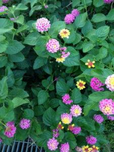 Lantan bush with multi-coloured flowers