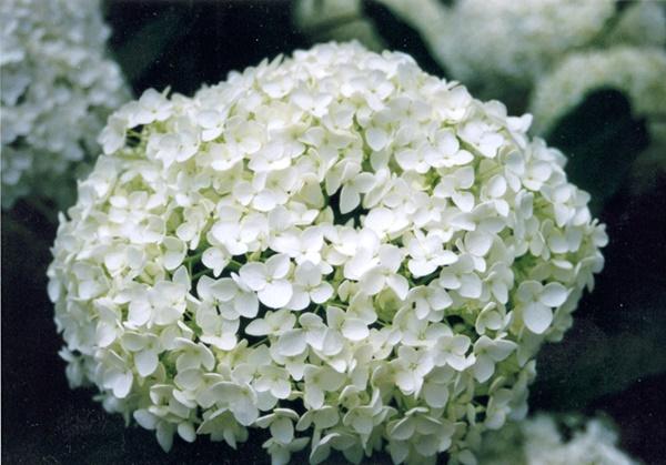 Hydrangea - pale form