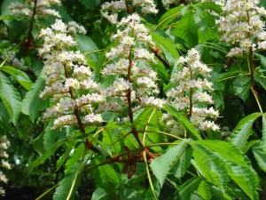 Horse chestnut flowers and leaves