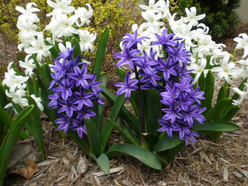 Haycinths in garden setting - white and purple specimens