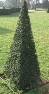 Topiary using yew tree