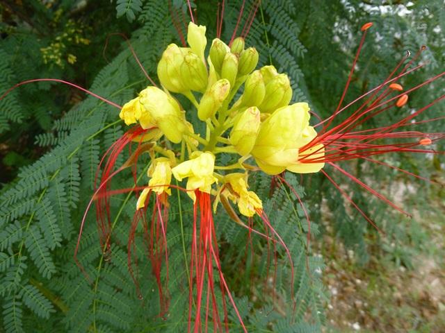 caesalpinia-flower