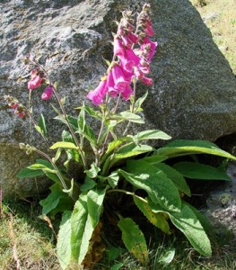 foxglove - whole plant