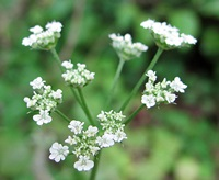 hemlock_flowers2-small