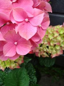 Hydrangea - pink form