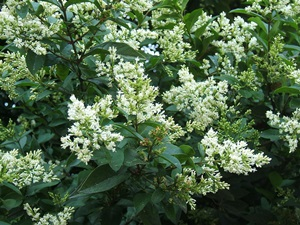 Privet in flower
