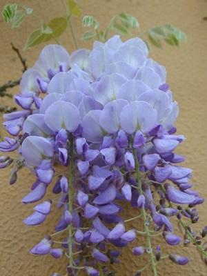 wisteria-flower